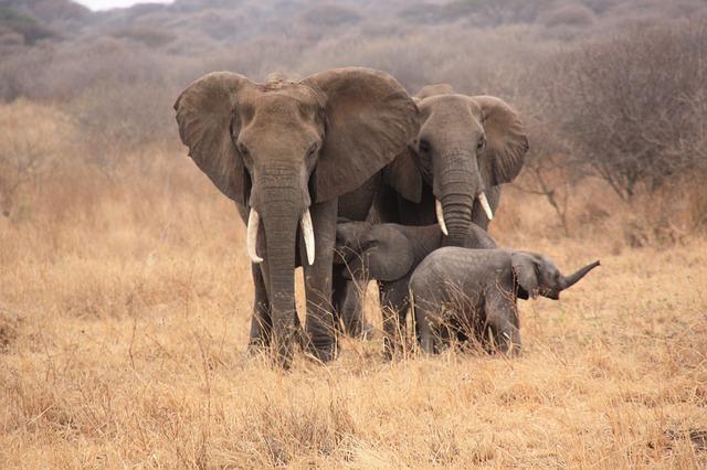 elefanti Serengeti