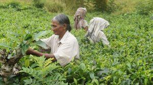 sri-lanka-piantagioni-tè