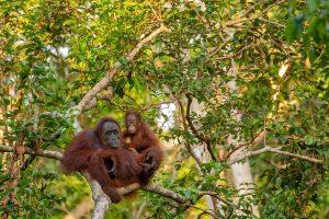 borneo-orangutan