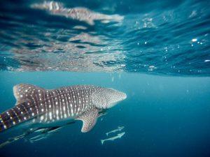 Maldive-squalo-balena