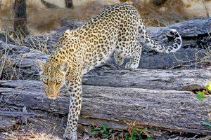 Botswana-leopardo