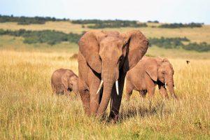 elefanti-africa
