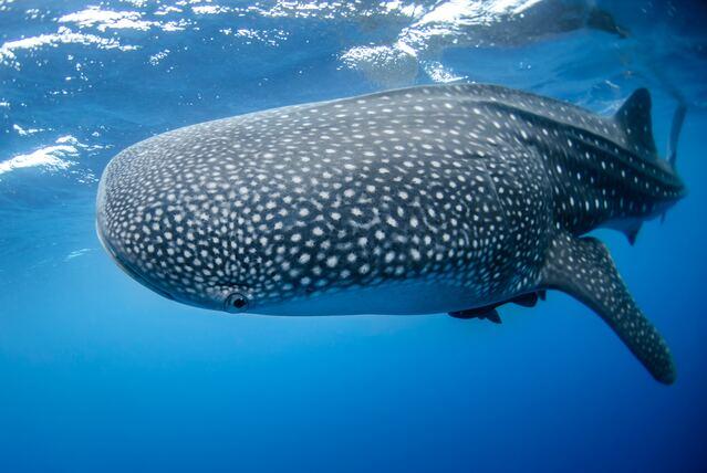 squalo-balena
